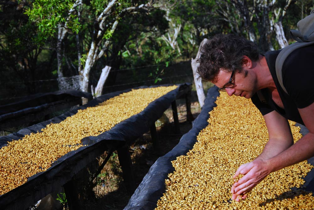 Trocknungsbett für Kaffee: Der Röster nimmt eine Probe